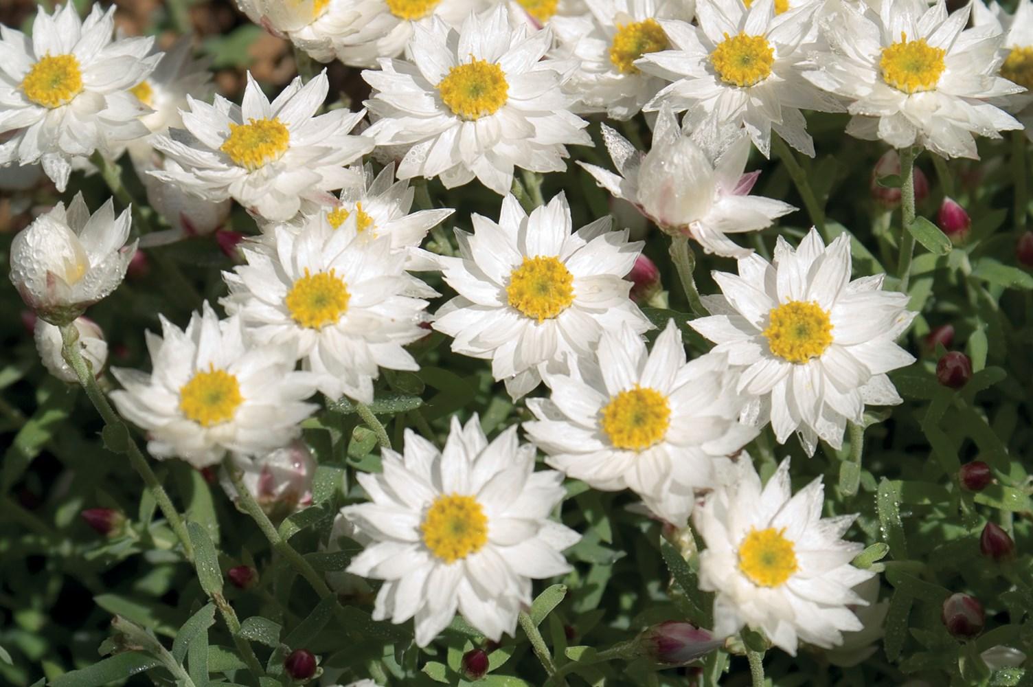 Website/Plants/291/Images/Gallery/r_paperstar_03.0.jpg