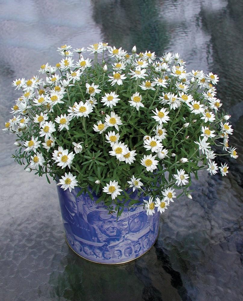 Website/Plants/291/Images/Gallery/r_paperstar_04.0.jpg