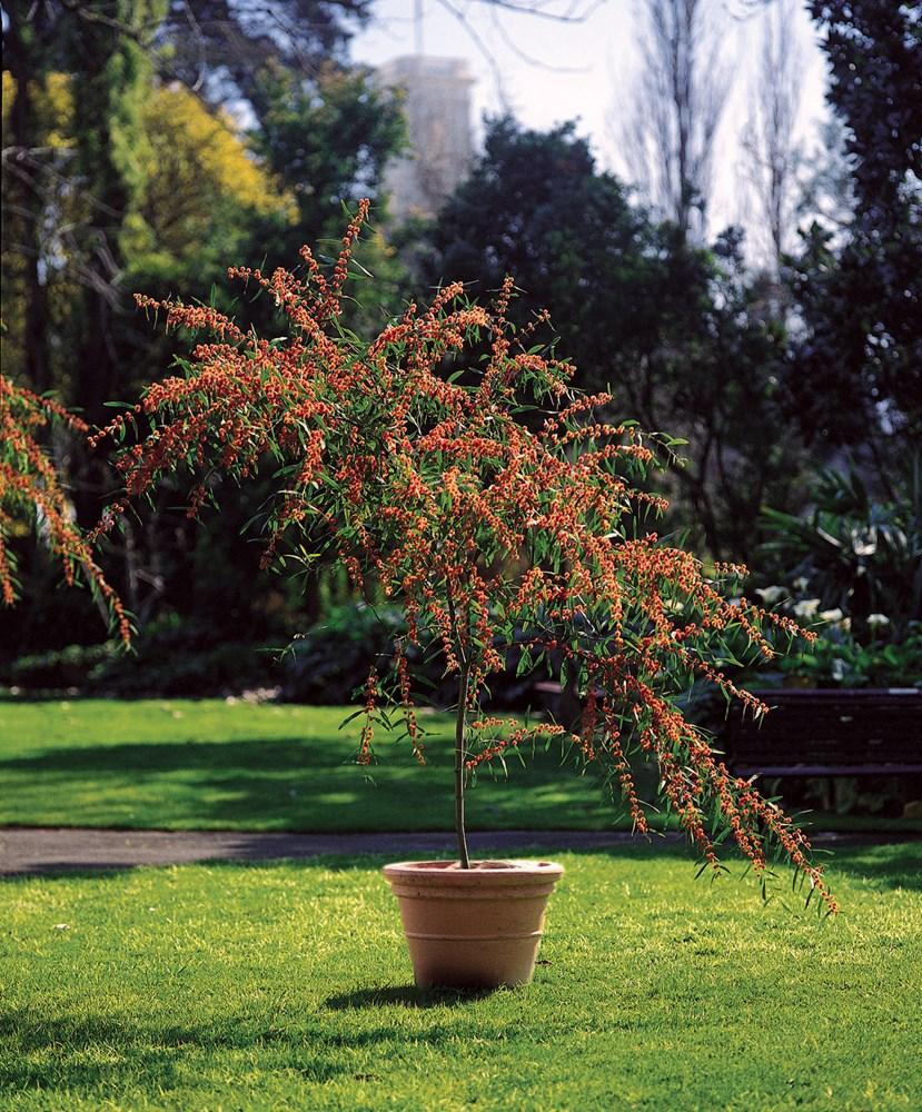 Website/Plants/327/Images/Gallery/a_scarletblaze_03.0.jpg