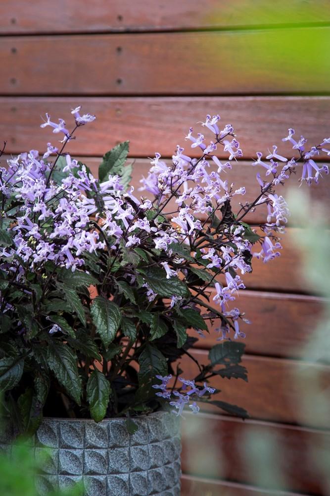 Website/Plants/351/Images/Gallery/p_mona_lavender_pot2017_1.0.jpg