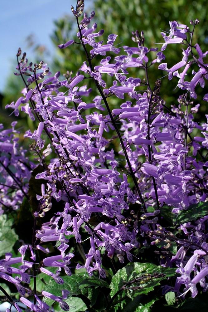 Website/Plants/351/Images/Gallery/p_monalavender_01.0.jpg