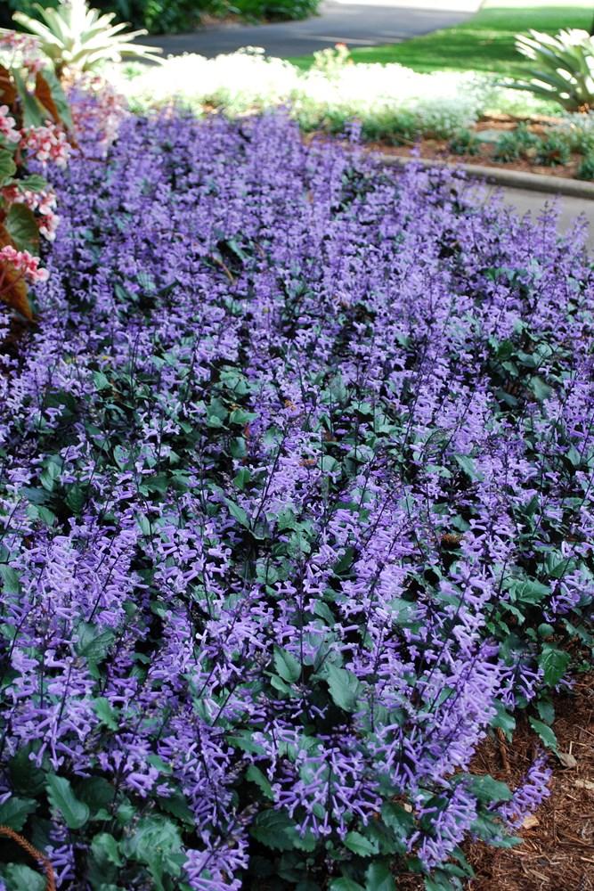 Website/Plants/351/Images/Gallery/p_monalavender_02.0.jpg