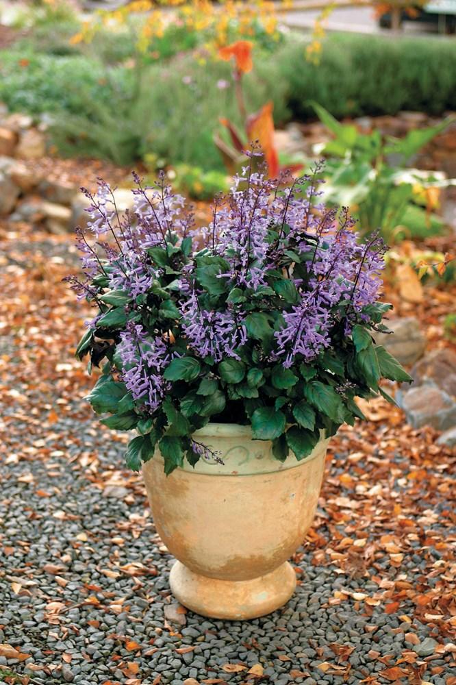 Website/Plants/351/Images/Gallery/p_monalavender_03.0.jpg