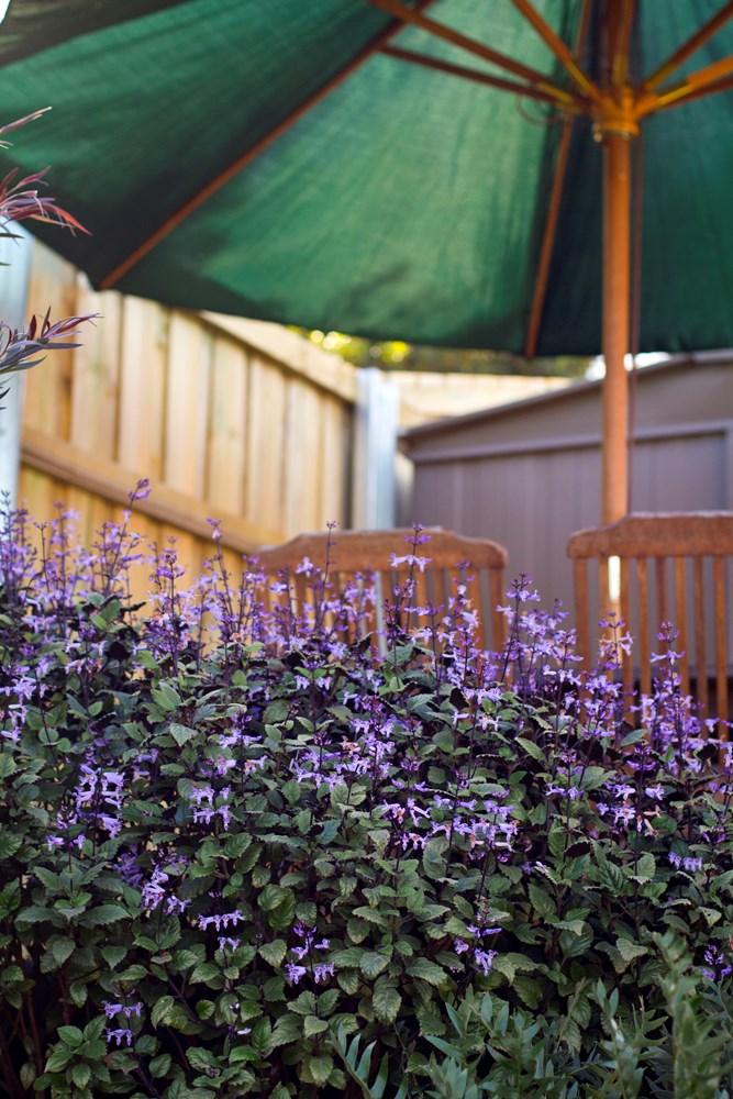 Website/Plants/351/Images/Gallery/p_monalavender_06.0.jpg