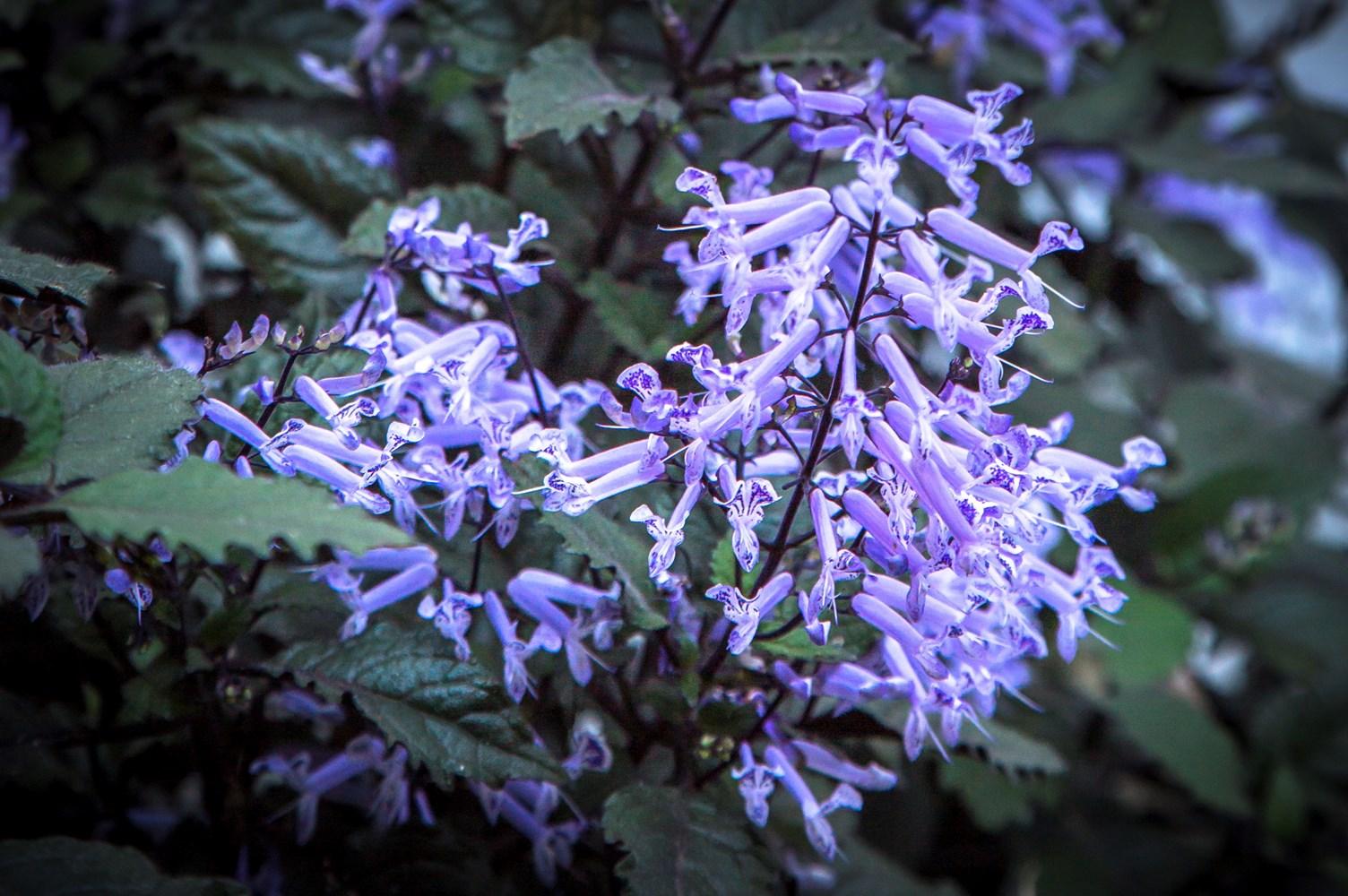 Website/Plants/351/Images/Gallery/p_monalavender_09.0.jpg