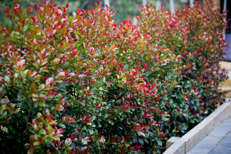 Website/Plants/569135493/Images/Gallery/s_bigred_01.0.jpg