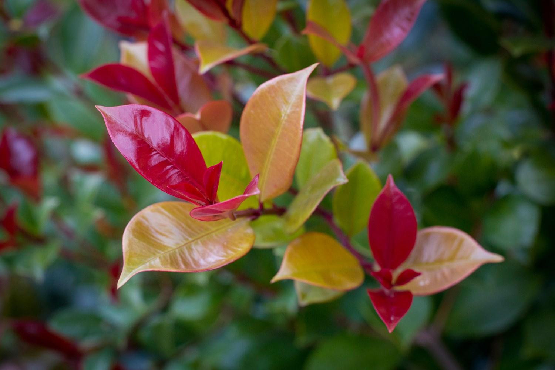 Website/Plants/569135493/Images/Gallery/s_bigred_02.0.jpg
