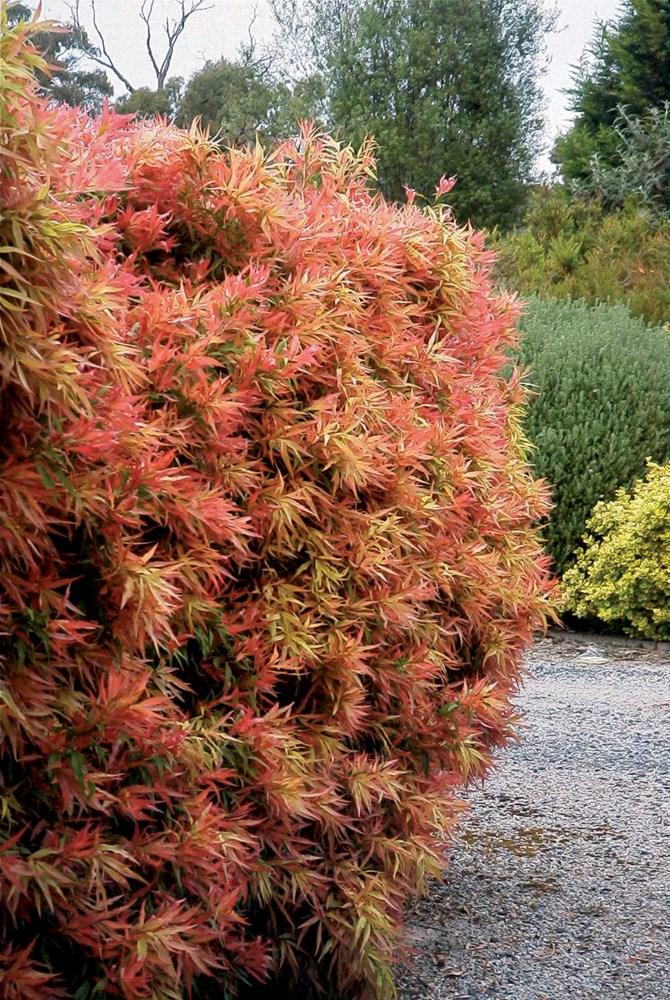 Website/Plants/66/Images/Gallery/c_greatballsoffire_02.0.jpg