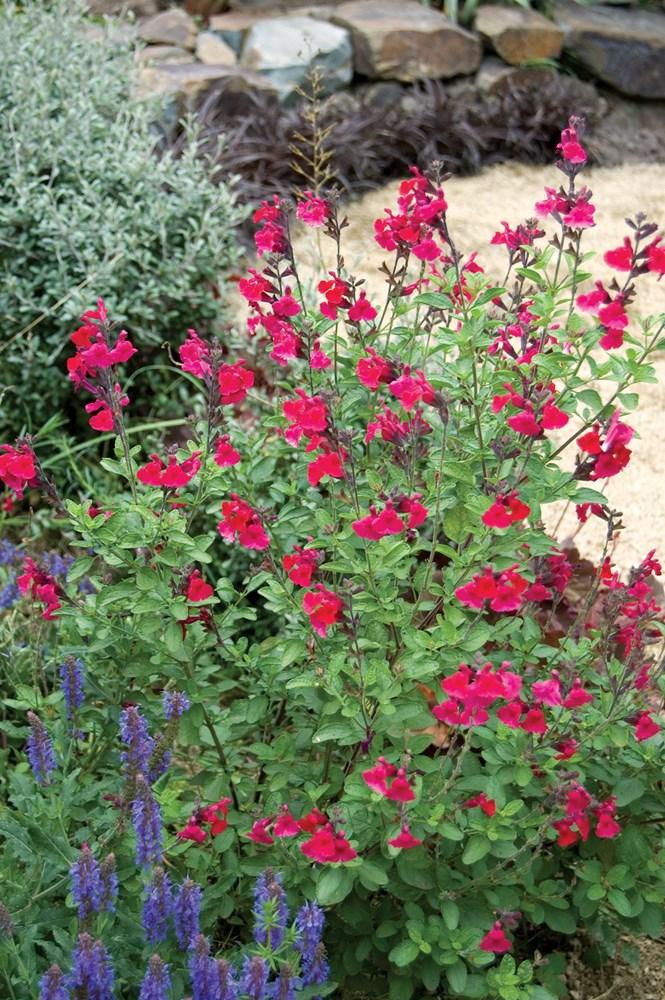 Website/Plants/692229409/Images/Gallery/s_heatwaveblaze_04.0.jpg
