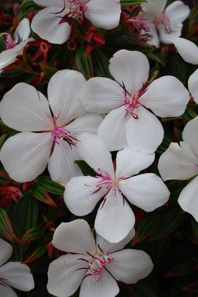 Website/Plants/702317635/Images/Gallery/t_peacebaby_01.0.jpg