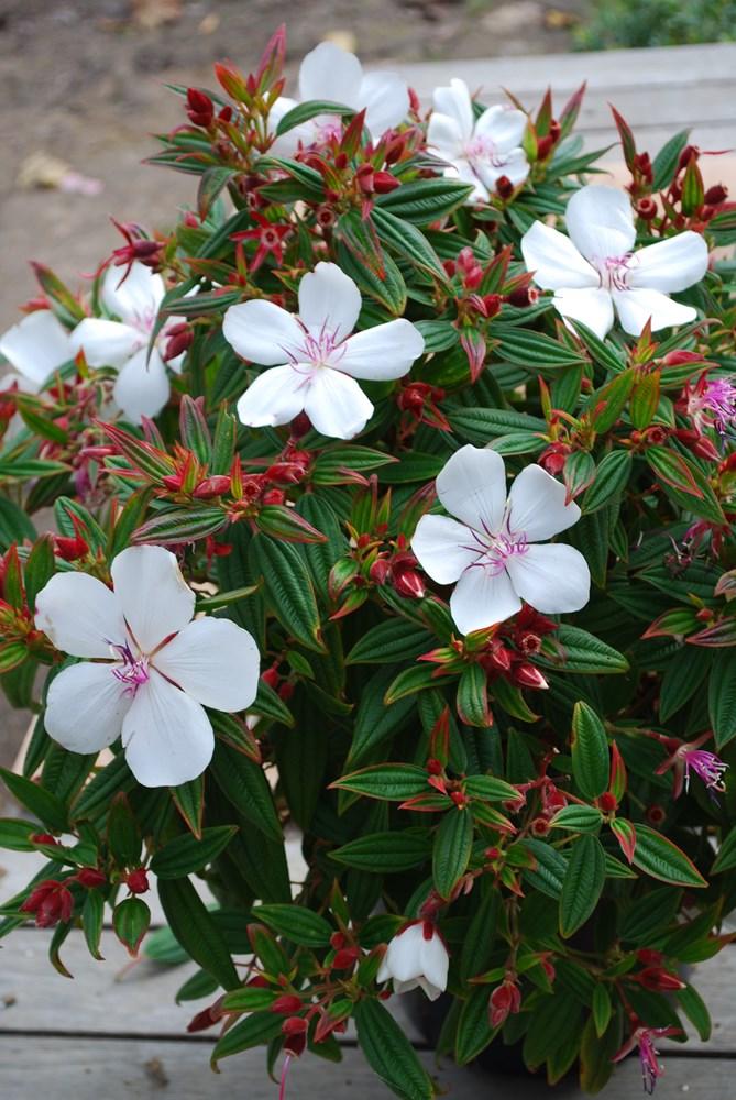 Website/Plants/702317635/Images/Gallery/t_peacebaby_05.0.jpg