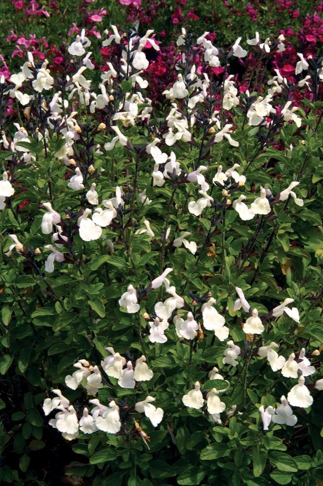 Website/Plants/923004941/Images/Gallery/s_heatwaveglimmer_02.0.jpg