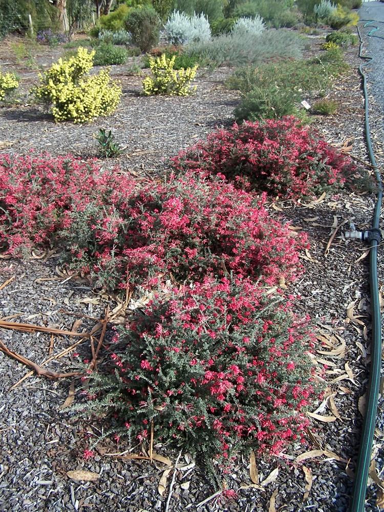 Website/Plants/982516101/Images/Gallery/g_winterdelight_02.0.jpg