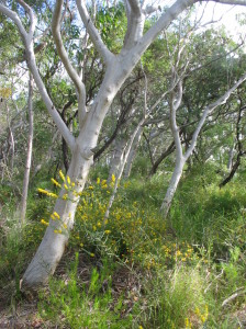 Scribbly Gum with Wildflowers