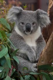 koala x 2