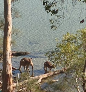 Eastern grey kangaroos enjoy Lake Weyba