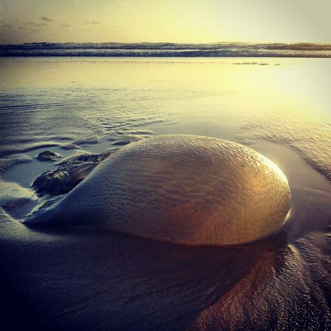 Jellyfish in the morning sun (Peregian Beach)