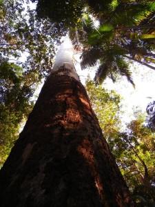 Mooloolah Logging Area-canopy