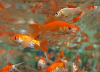 Why you should never put a goldfish in a park pond