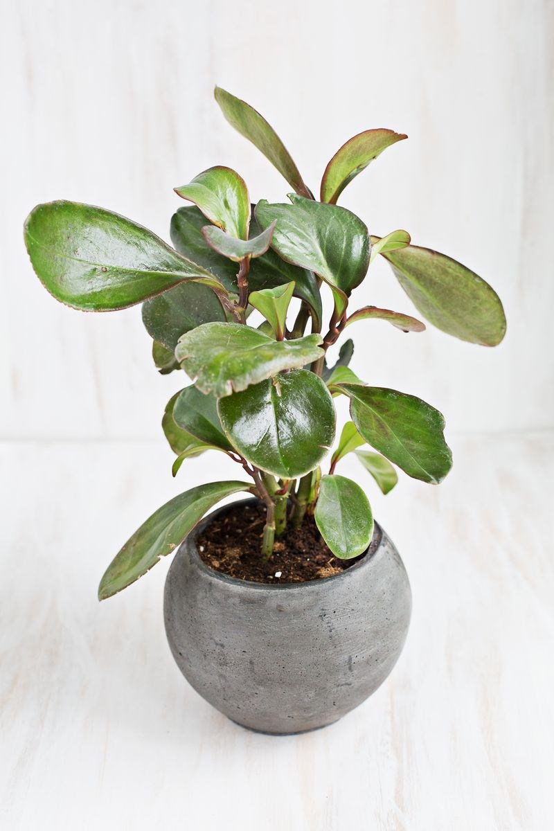 Baby-rubber-plant