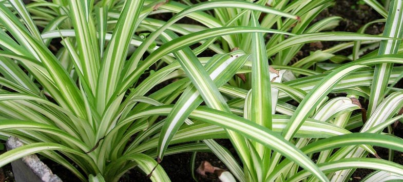 Long-striped-spider-plant-leaves