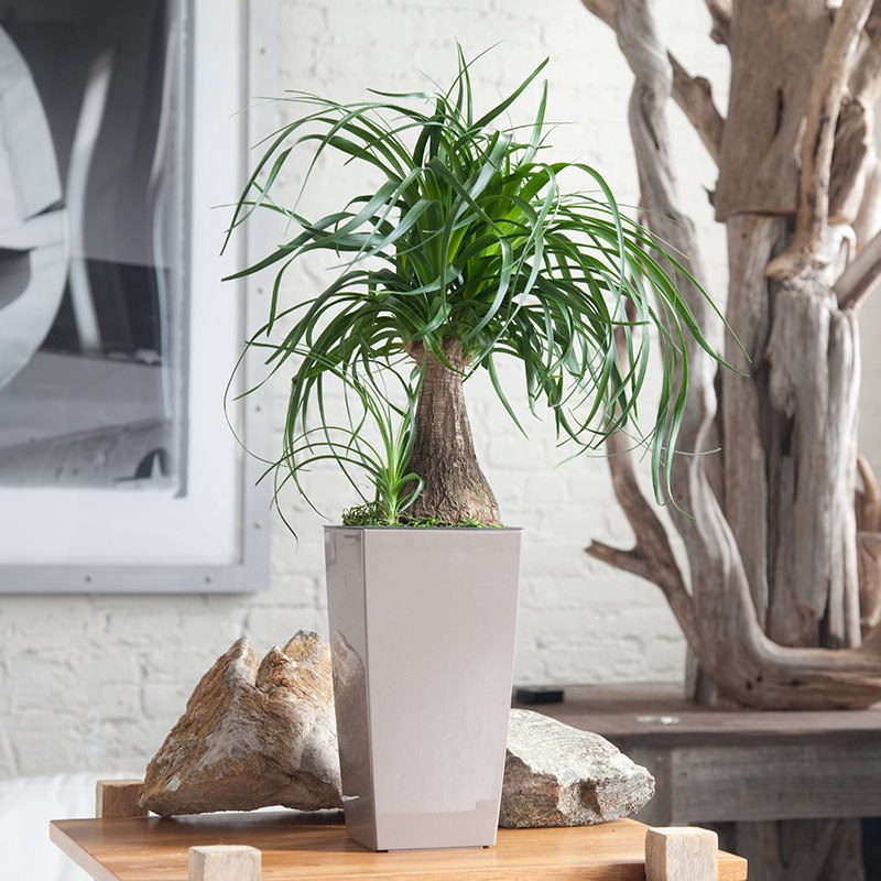 Ponytail-palm-from-My-City-Plants