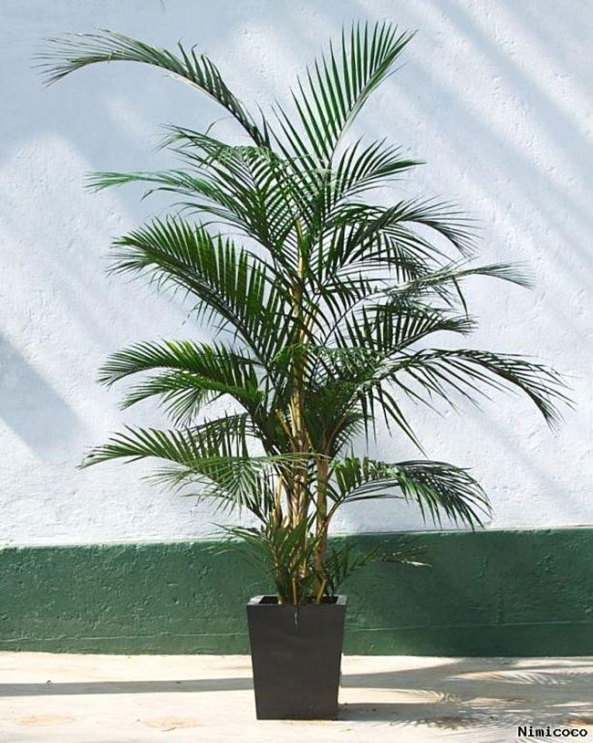 Potted-areca-palm-plant