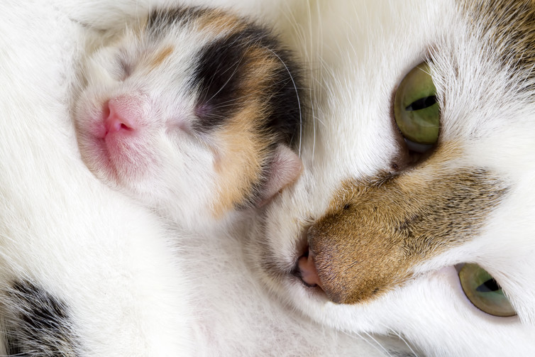 Kittens get securely snuggled by their mothers. Cats image via www.shutterstock.com.
