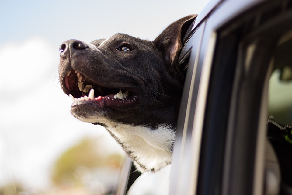 Riding in cars with dogs: Transport policy needs to change