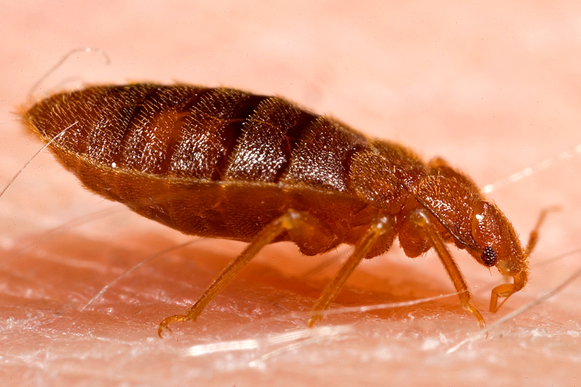 Bed Bugs In Your Rental Responsibility And Treatment Rent Blog