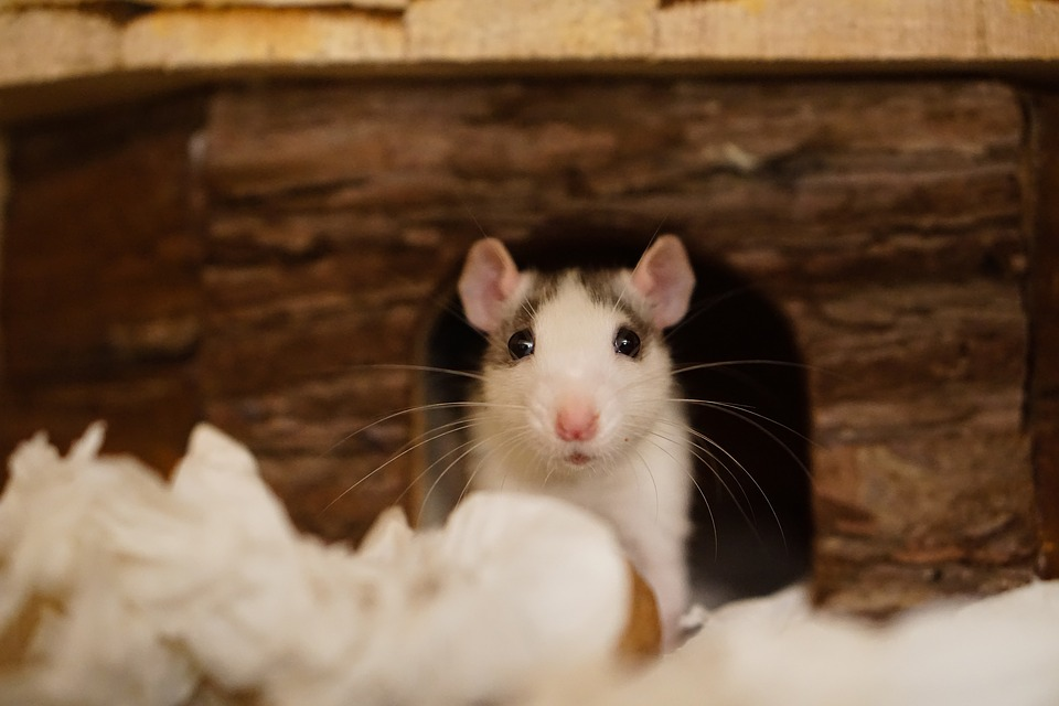 Rats in your rental: Responsibility and treatment - Rent Blog