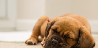 Why decisions to desex male dogs just got more complicated