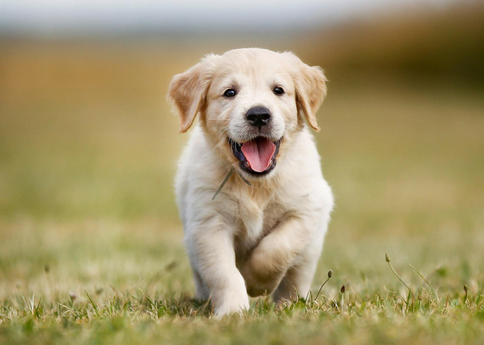 Top 10 revealed: What are Australia's favourite dog breeds?