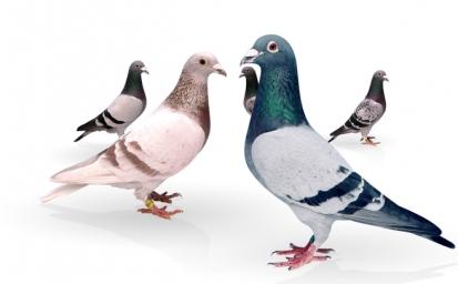 home_pigeons2-1.jpg
