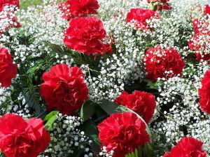 Carnations: not a girl's best friend.