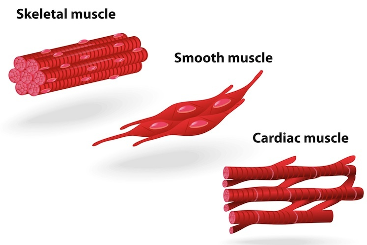 Types of muscle tissue20161111 16640 1c2x74o?1522307930 muscle tissue diagram home wiring diagrams