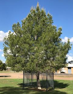 Moree Lone Pine