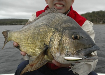 At 1.85kg, bream don't come much bigger. This fish was caught in the Derwent River in Tasmania.