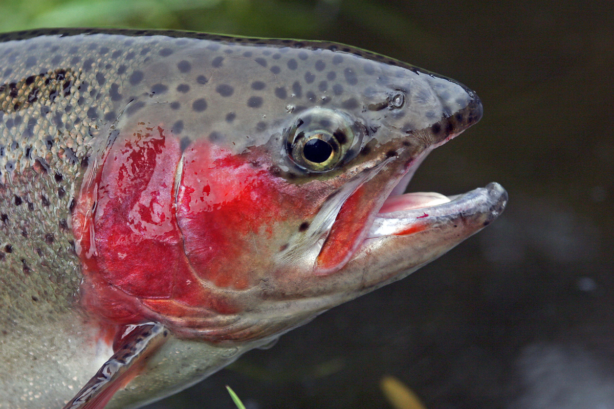 Rainbow trout are common in most Victorian lakes and impoundments.