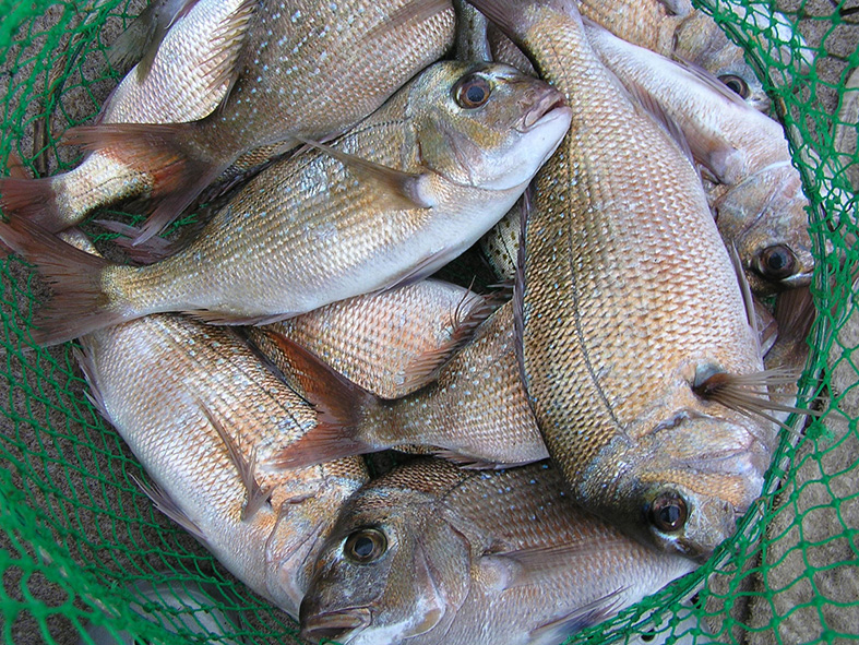 Small snapper or pinkies are caught in good numbers from piers and breakwalls