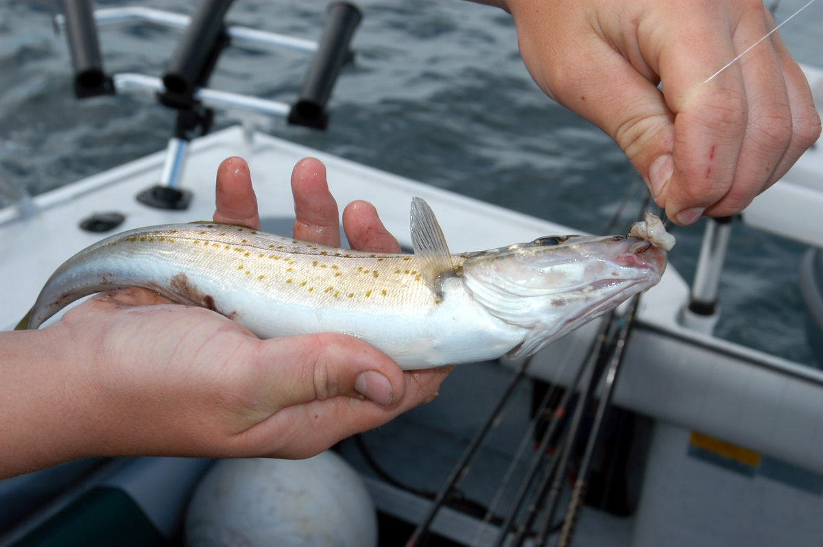 Whiting are pretty fish but need to be a slightly bigger than this one to get a decent meal.