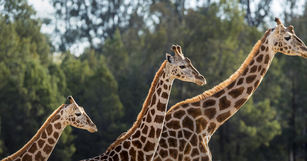 Taronga Zoo And Zoos Victoria To Reopen Next Week