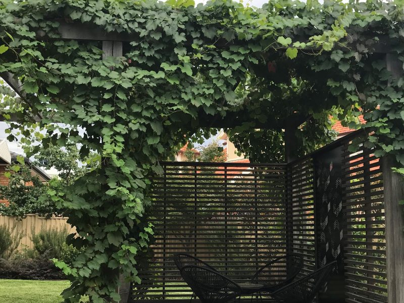 Ornamental Grape Vine