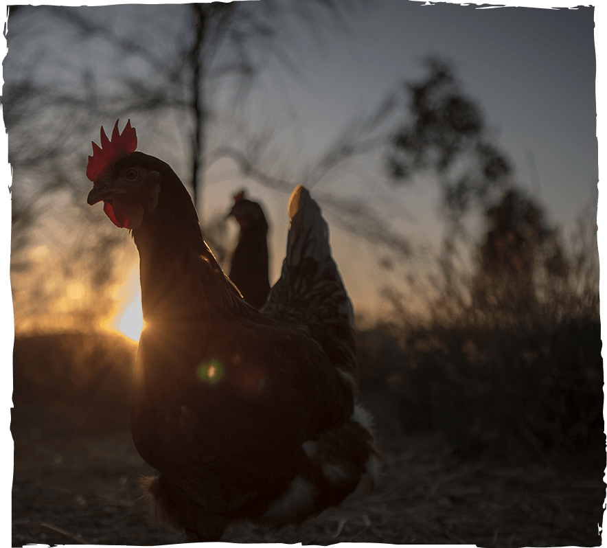 Image of a chicken with a sunset background.