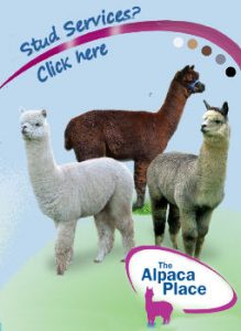 1TheAlpacaPlacestudsfinal