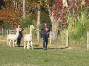 Experience walking with an alpaca!