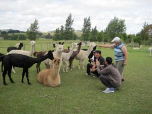 Our alpacas will come to meet you!