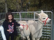 A young visitor meets some of our alpacas