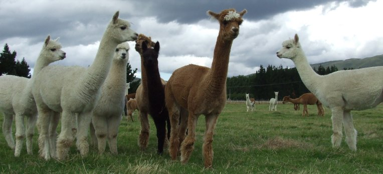 alpaca group
