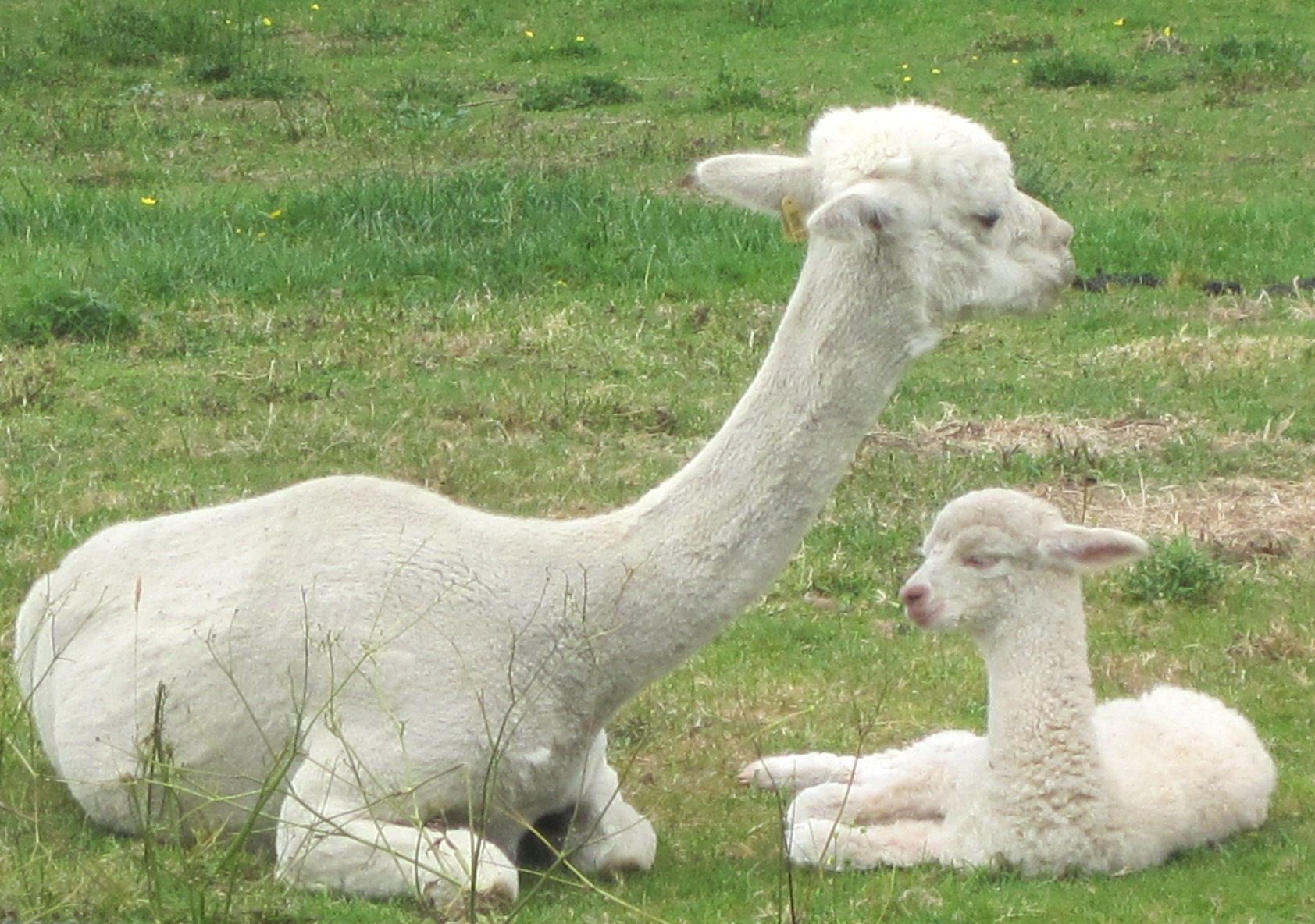 Our new cria, Declan, with mother Cherrie